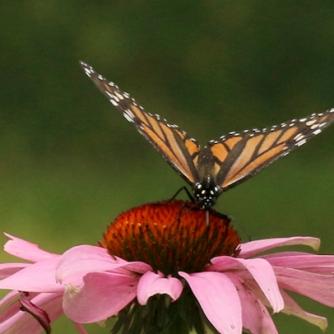 Backyard monarch, 2021
